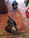 Beau and Sweet Pea at Christmas